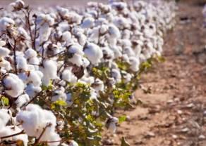 Bawełna ( Cotton ) – konsolidacja będzie trwać nadal