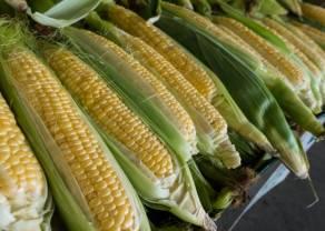 Cena kukurydzy w konsolidacji