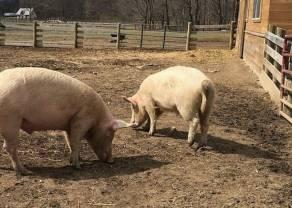 Cena mięsa w Polsce. Czy zakaz uboju rytualnego wpłynie na spadek cen mięsa w Polsce?