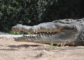 Co ma wspólnego aligator z inwestowaniem? Interesujący wskaźnik jako potwierdzenie panującego trendu