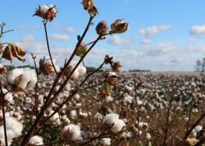 Już poniżej 67 centów. Cena bawełny spada. Brak sygnałów świadczących o zmianie trendu