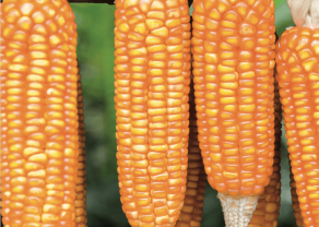 Kukurydza - największy potencjał z ziarenek