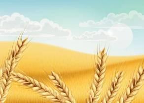 Notowania cen Wheat. Zmiana sentymentu do Pszenicy - analiza wykresu