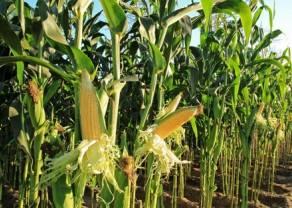 Notowania kukurydzy tworzy większą korektę - analiza wykresu CORN