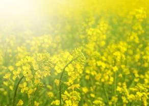 Rekordowe ceny rzepaku! Czy najbliższe miesiące przyniosą korektę i spadek notowań roślin oleistych? Zerknij na najnowszą prognozę surowcową