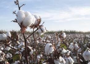 Rynek Bawełny przeżywa załamanie po dotknięciu ceny 95 centów! Czy to koniec korekty na notowaniach cotton?