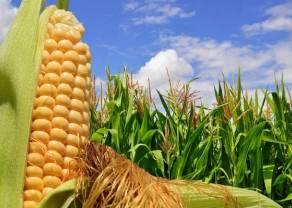 Surowce rolne: Kukurydza soja pszenica cukier bawełna kawa arabica kakao - tygodniowy przegląd