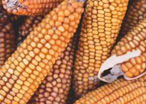 Trend boczny na kukurydzy CORN ma się dobrze