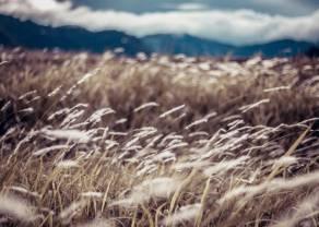Wyraźne wzrosty notowań pszenicy - cena WHEAT drożeje