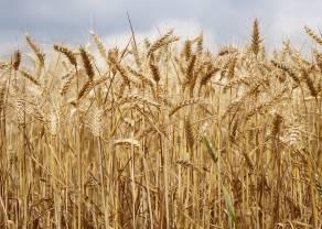 Czy zniżkowa seria cen miedzi przerodzi się w większą korektę? Drugie z rzędu ogromne zbiory pszenicy w Australii