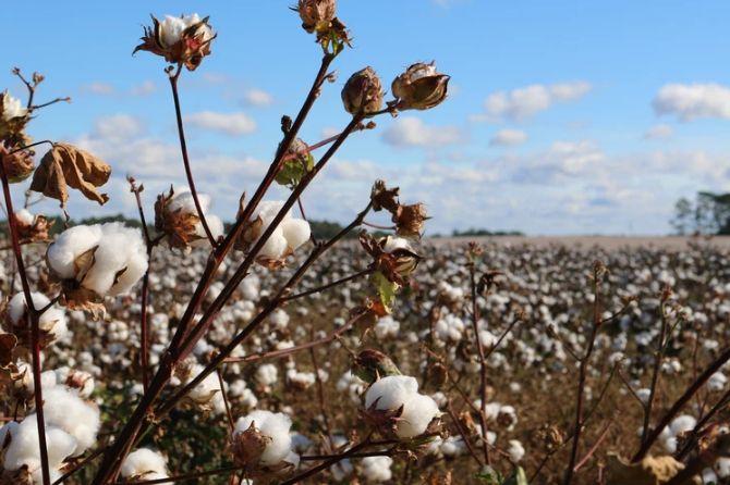 Ceny bawełny w USA przy 3-letnich minimach. Tegoroczny deficyt na globalnym rynku palladu