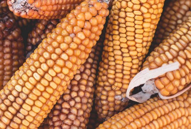 Ceny kukurydzy wciąż przy tegorocznych maksimach. Cena kawy hamuje wzrosty