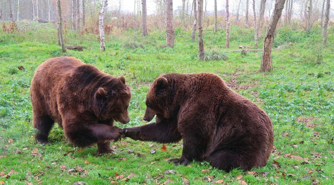 Jeszcze więcej niedźwiedzi w Stanach Zjednoczonych!