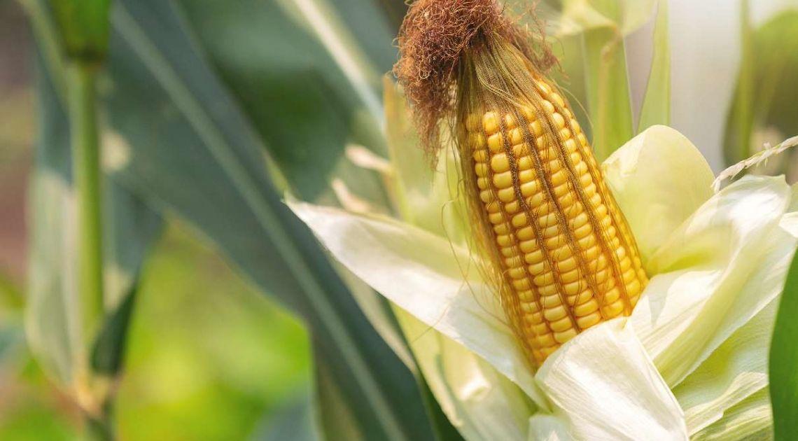 Wystrzał cen kukurydzy na giełdzie! Trend wzrostowy na notowaniach CORN zdaje się nie mieć końca!